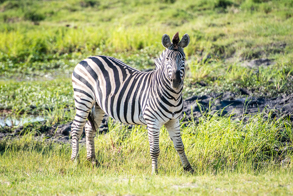 Plains zebra (Equus quagga) stands alone in the marshy wetlands, Chobe National Park - Botswana