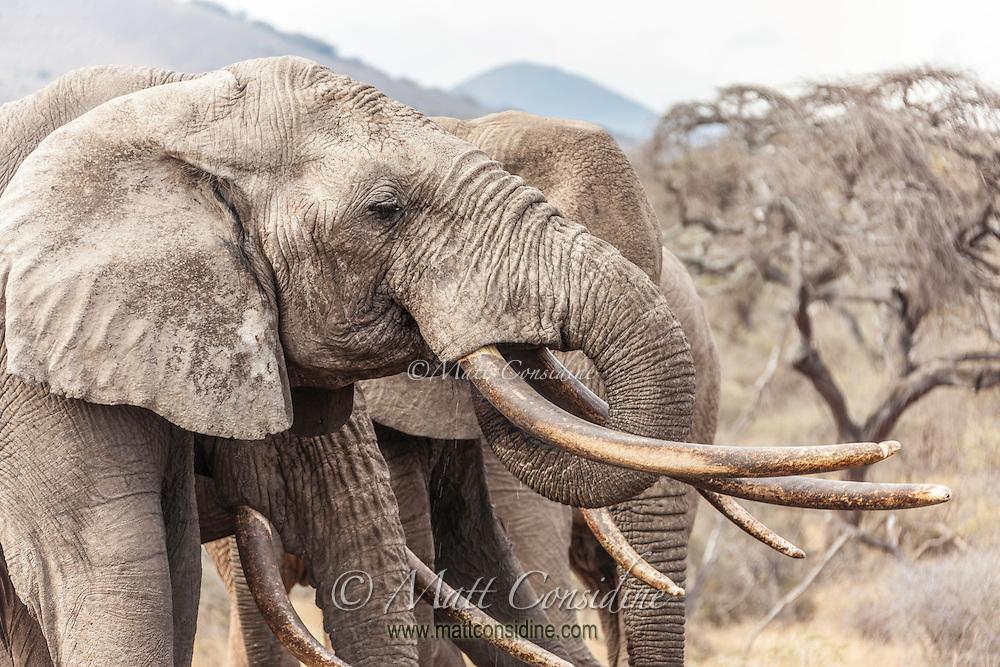 Closeup headshot of big tusker elephants, Kenya, Africa (photo by Wildlife Photographer Matt Considine)