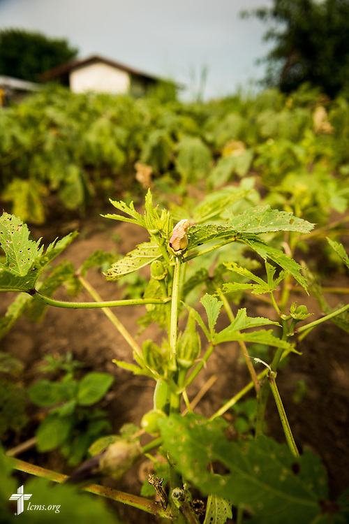 Vegetable plants in a garden on Wednesday, Sept. 23, 2015, at the Leitchour Refugee Camp outside Gambela, Ethiopia. LCMS Communications/Erik M. Lunsford