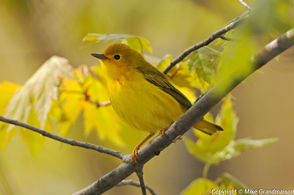 Yellow warbler Dendroica petechia in Carolinian forest<br /> Point Pelee National Park<br /> Ontario<br /> Canada