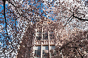 "Cherry trees flower in early April at UW Smith Hall in Seattle, Washington, USA. The Yoshino cherry trees on ""the Quad"" (Liberal Arts Quadrangle) of the University of Washington were a senior gift from the class of 1959. The trees were rescued from a construction site for the Evergreen Point Floating Bridge and moved to campus in 1964."