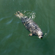 A seal in Victoria Harbor, Vancouver Island.<br /> Photography by Jose More