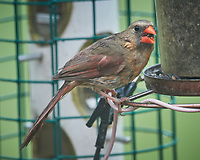 Juvenile Northern Cardinal. Image taken with a Nikon D5 camera and 600 mm f/4 VR telephoto lens (ISO 1600, 600 mm, f/5.6, 1/25 sec).