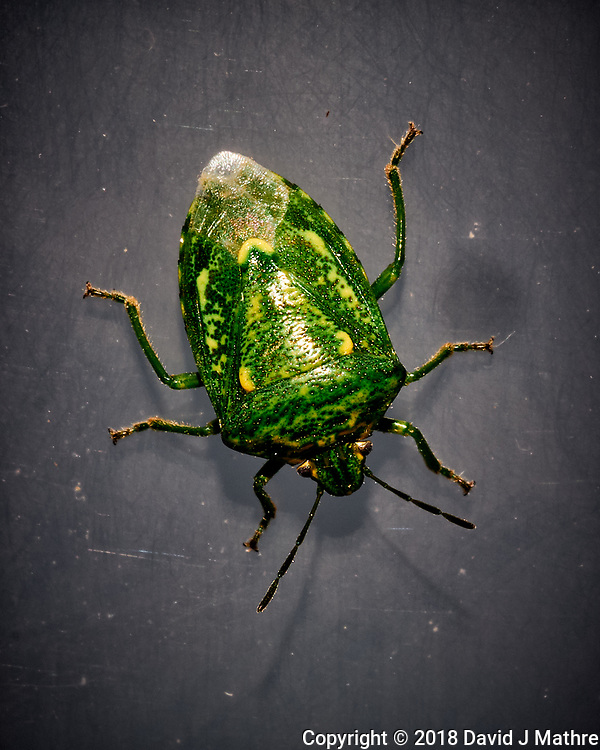 Green Stink Bug. Image taken with a Fuji X-T1 camera and 60 mm f/2.4 macro lens (ISO 200, 60 mm, f/16, 1/60 sec) + flash.
