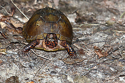 July 2007: Turtle, Shot at the Trail of Tears State Park near Cape Girardeau, Missouri (Photo by Alan Look)