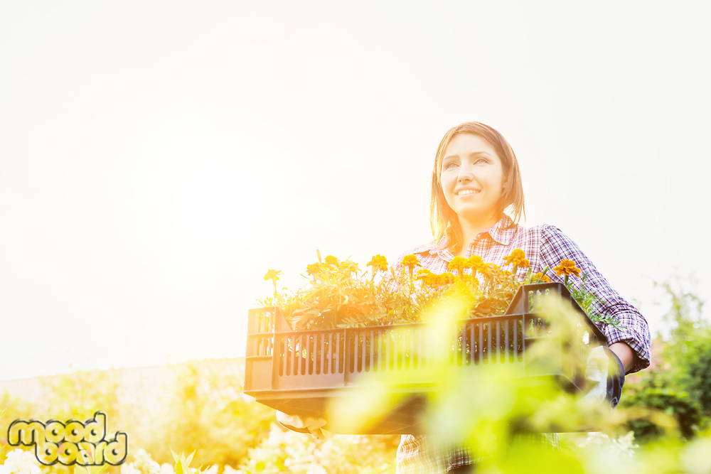 Portrait of mature gardener carrying flowers on crate with lens flare in background