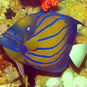 Blue Ringed Angelfish inhabit reefs. Picture taken West Papua; Triton Bay; Indonesia.