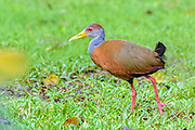 Grey-necked Wood Rail - Aramides cajaneus in Costa Rica