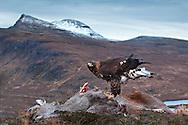 Golden eagle (Aquila chrysaetos) feeding on red deer carcass, Assynt, Scotland.
