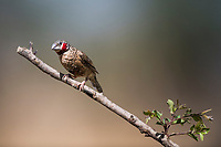 Cut-throat Finch, Zakouma National Park, Chad