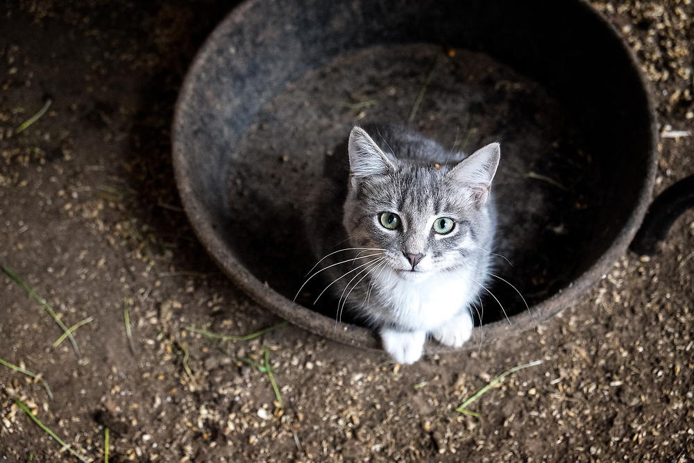 A Kitten waits for some milk in the milking barn at EZ Rocking Ranch | August 23, 2014