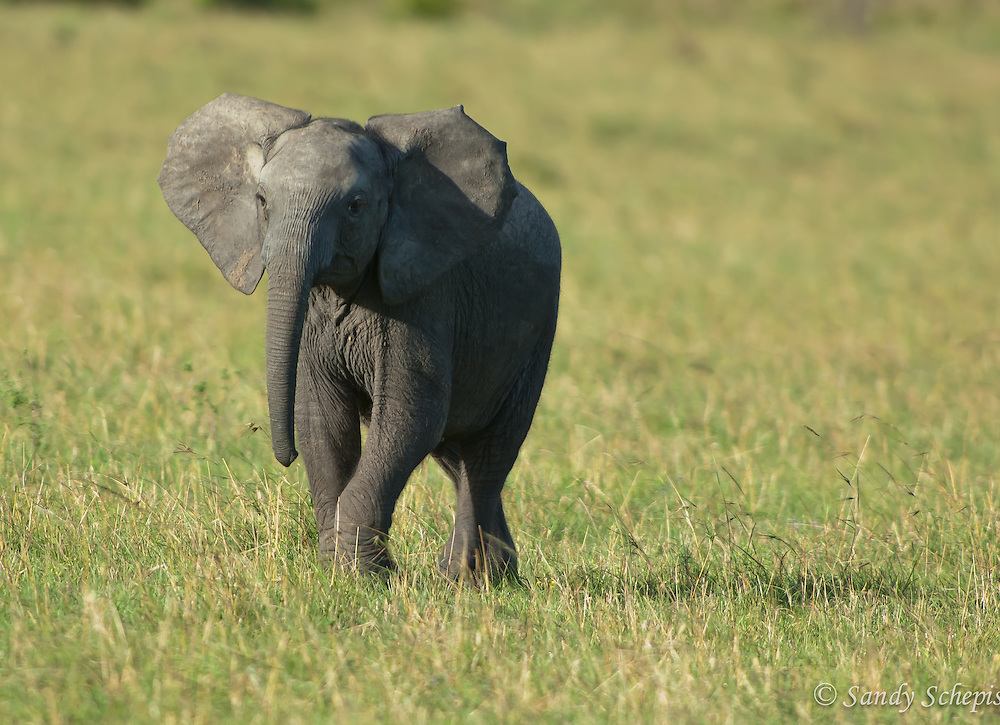 African elephant (Loxodonta Africana) calf, grassland, full size, front view, ears spread, behind grass, head lifted, Mara Mara, Kenya