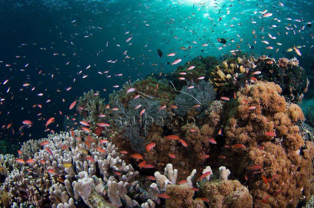 Shallow coral reef, with Anthias fish, Pseudanthias sp., in afternoon sunlight, Sipadan Island, Sabah, Malaysia.