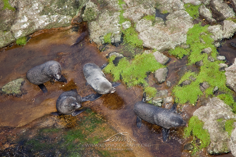 New Zealand Fur Seal, Otago Peninsula