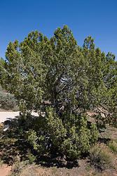 Utah juniper (Juniperus osteosperma), Hovenweep National Monument, Colorado and Utah.