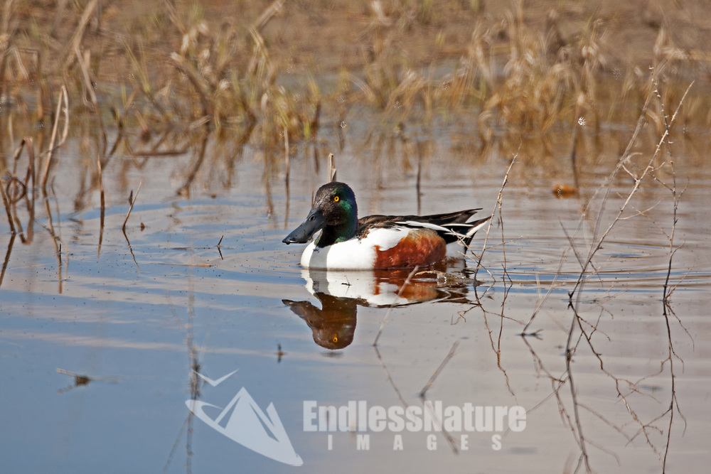 A Northern Shoveler male swim in a local marsh pond feeding it sifts food from water with a brushy membrane inside its bill.
