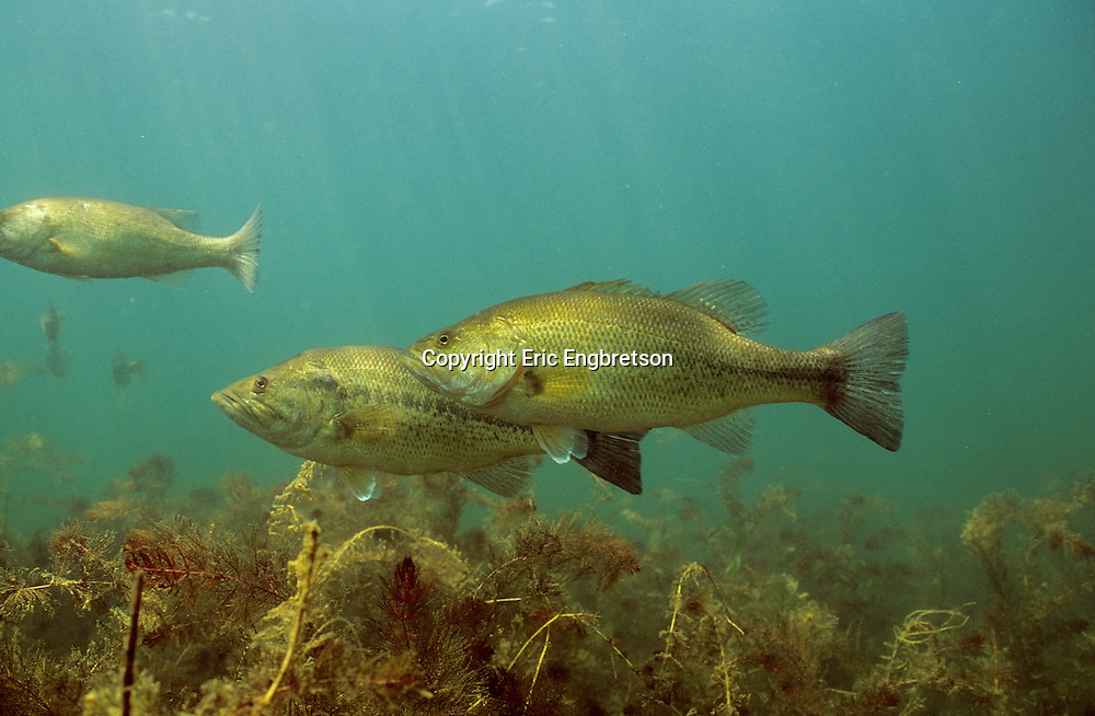 School of Largemouth Bass<br />