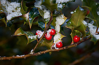 Red Holly Berries with Fresh Snow. Winter in New Jersey. Image taken with a Nikon D3 and 200 mm f/4 macro lens (ISO 200, f/8, 1/60 sec)