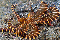 The wonderpus has only recenlty been described.  The Lembeh Strait in N Sulawesi is famous for its unusually high marine biodiversity, particularly of unusual animals that live on the exposed sand areas.