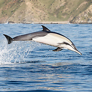 Indo-Pacific Common Dolphin (Delphinus delphis tropicalis) leaping clear of the water while attacking a baitball of sardines.