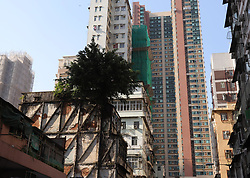 October 5, 2018 - Hong Kong, CHINA - A Chinese Banyan Tree ( Ficus Microcarpa ) is seen here firmly snatched onto rooftop and wall of an old building that stood for approximately 60 years at popular tourism spot, Temple Street, Yau Ma Tei, Kowloon. Strange scenes of trees surviving on the buildings can be seen in Hong Kong. Oct-5,2018 Hong Kong.ZUMA/Liau Chung-ren (Credit Image: © Liau Chung-ren/ZUMA Wire)