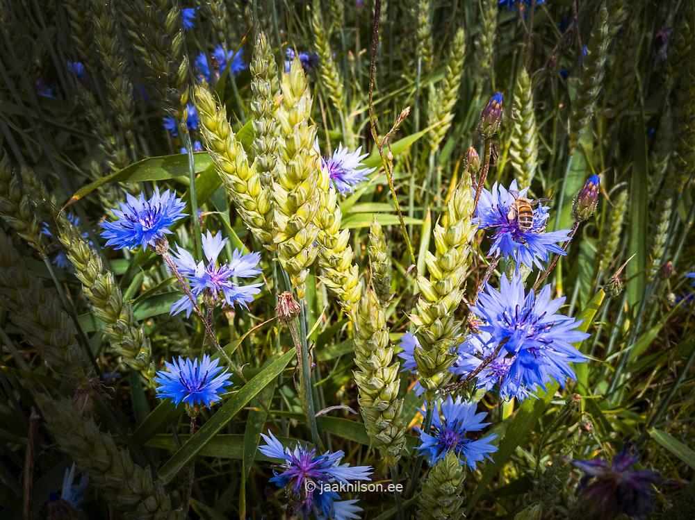 Close-up of Estonian national flower blue cornflower in field