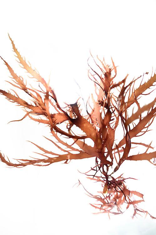 Red algae (Calliblepharis jubata), Roscoff, France | Calliblepharis jubata (Rotalge), Roscoff, France
