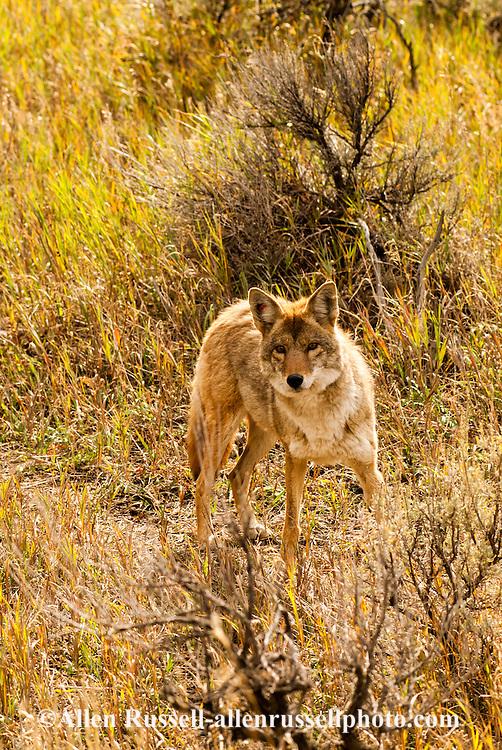 Coyote, (Canis latrans), Yellowstone National Park, Lamar Valley, Montana