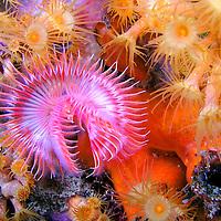 Alberto Carrera, Tubeworm, Fan Worm, Serpula vermicularis, Feather Duster Worms, Tube Worm, Polychaete, Mediterranean Sea, Spain, Europe