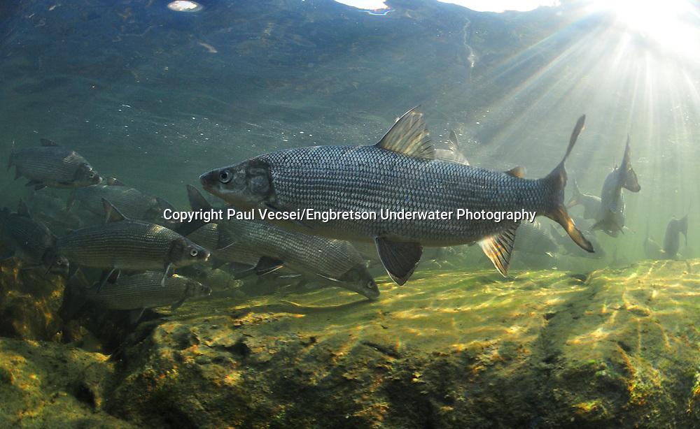 Lake Whitefish<br /> <br /> PAUL VECSEI/ENGBRETSON UNDERWATER PHOTO