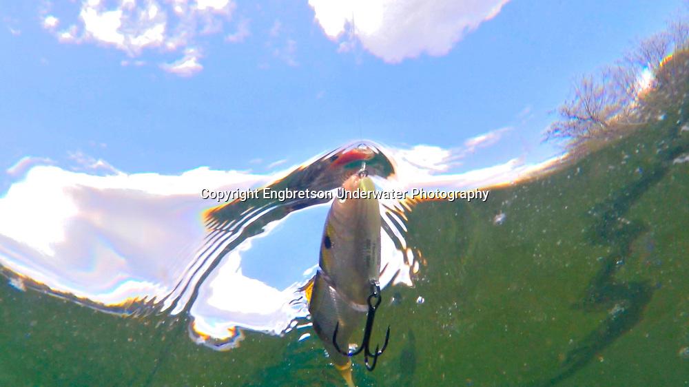 BBZ Shad<br /> <br /> Engbretson Underwater Photography