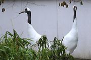 Dierenpark Amersfoort in de winter.<br /> <br /> Op de foto:<br />  Japanse kraanvogel