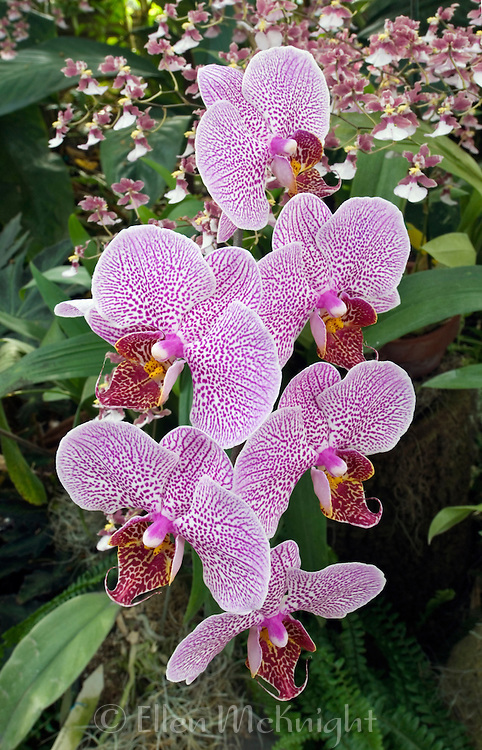 "Phalaenopsis ""Double Delight"" orchid"