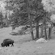 Grazing Bison Wide View - Lamar Valley - Yellowstone National Park - Infrared Black & White