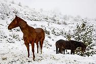 Quarter Horses (Equus caballus) in Montana winter storm <br /> PROPERTY RELEASED