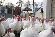 Hamilton, N.J. November 5, 2013. A group of male turkeys wait to enter the processing area. . 11/5/2013. Photo by Jess Scanlon/NYCity Photo Wire
