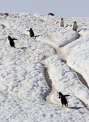 Gentoo penguin, Neko Harbour, Antarctica