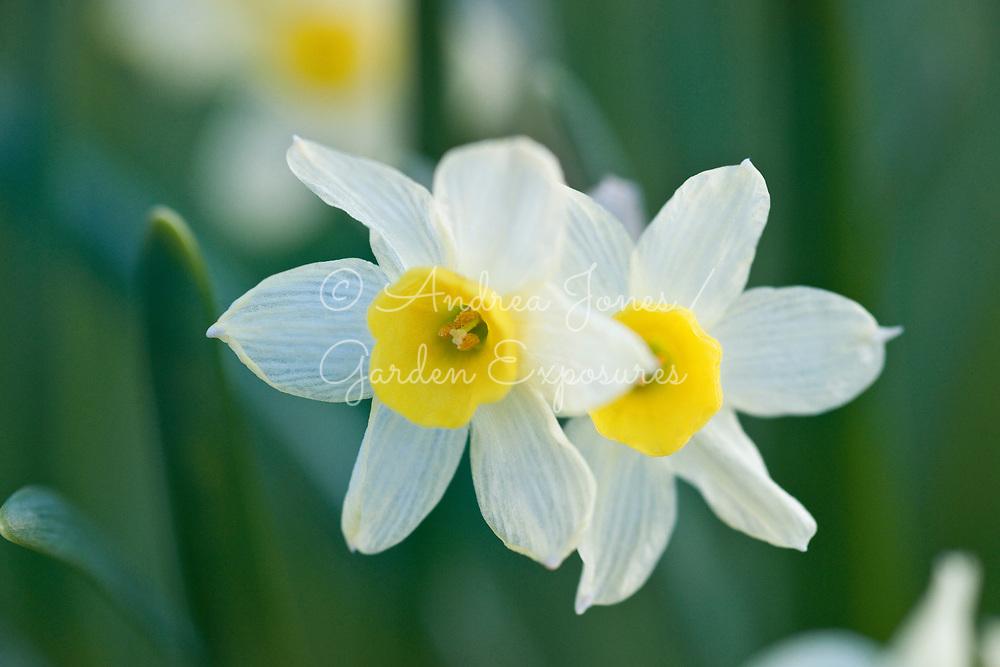 Narcissus 'Minnow' (daffodil 'Minnow')