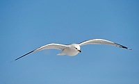 Ring-billed Gull (Larus delawarensis) in flight, Harbourside, Toronto , Ontario, Canada