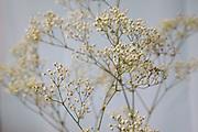 Gypsophila-Pinkish Grey
