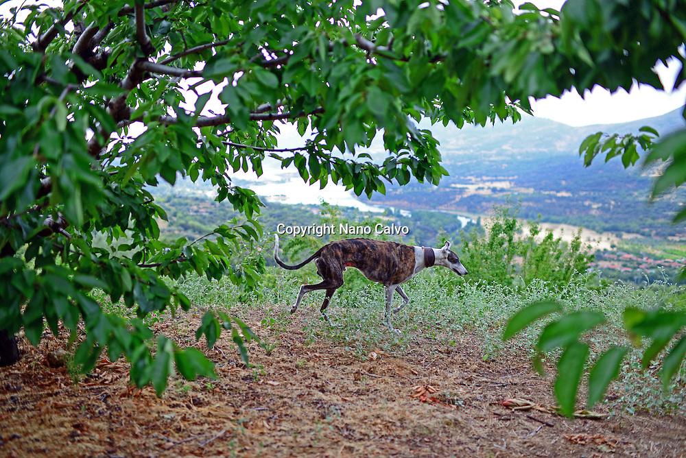Spanish Greyhound in valley