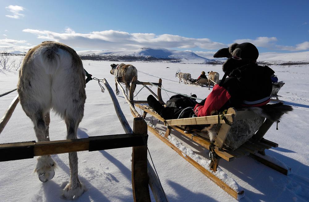 Reindeer (Rangifer tarandus), Reindeer sledding safari ecotourism, Sami tour outfitter Per-Nils Päiviö, Nature's Best, Övre Soppero, Lapland, Norrbotten, Sweden.