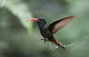 A Rufous-tailed hummingbird in flight in the Mindo cloud forest.