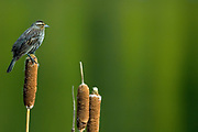 female Red-winged blackbird (Agelaius phoeniceus) on cattail in  Banff National Park<br />