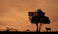 Common eland silhouetted against the morning sun in the Masai Mara National Reserve, Kenya, Africa