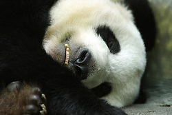 24 July 2005:   The giant panda, also known as panda bear or simply panda, is a bear native to south central China. It is easily recognized by the large, distinctive black patches around its eyes, over the ears, and across its round body.