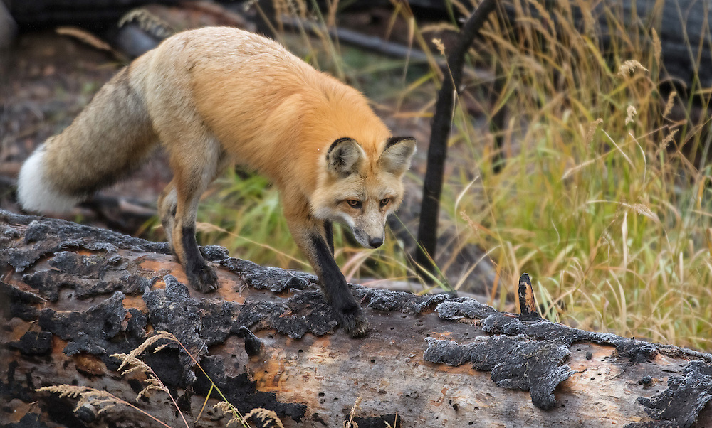 The red fox is primarily nocturnal and does most of its hunting during the evening hours. Although not a common sight in Yellowstone, the fox can sometimes be spotted as it prowls its hunting territory at dusk and dawn.