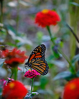 Monarch butterfly feeding on Zinnia flowers. Image taken with a Fuji X-T3 camera and 200 mm f/2 lens