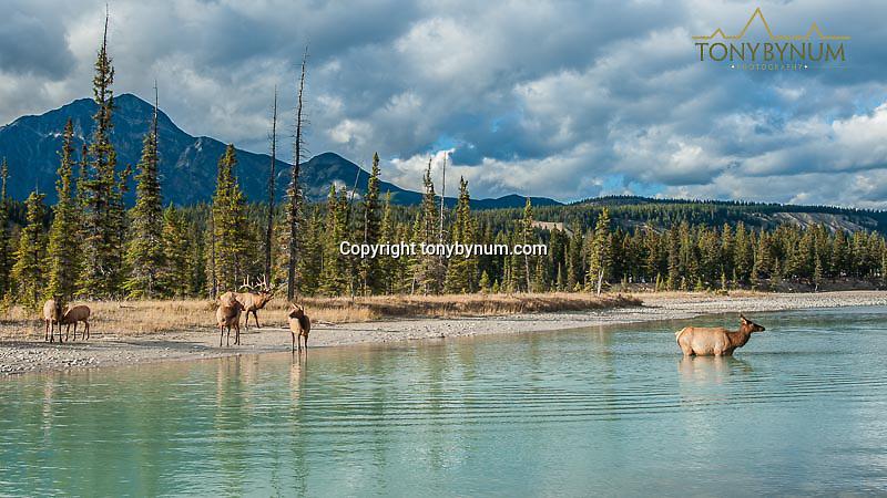 elk herd in river