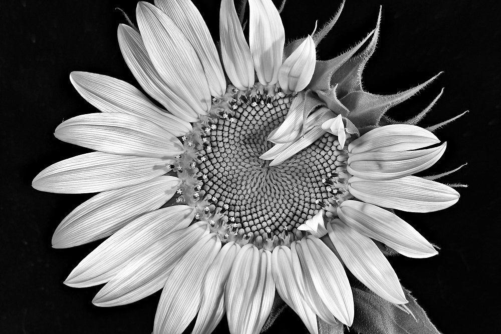 I captured this sunflower as it slowly opened its' ray flowers to reveal the beautiful disk florets. <br />